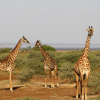 Thumbnail image for Photo of the week: Giraffes in Lake Manyara National Park, Tanzania
