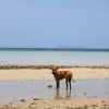 Thumbnail image for Dog on the beach on Koh Phangan, Thailand