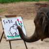 Thumbnail image for An elephant painting a picture in Chiang Mai, Thailand