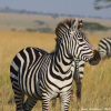 Thumbnail image for A Zebra in Serengeti National Park, Tanzania
