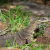 Thumbnail image for Goanna at Flanagan Reserve, Australia