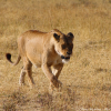 Thumbnail image for A Lioness in Ngorongoro Crater, Tanzania