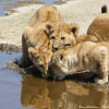 Thumbnail image for Three lion cubs drinking water in Serengeti National Park, Tanzania