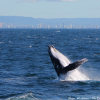 Thumbnail image for A Whale Breaching the Water on the Gold Coast, Australia