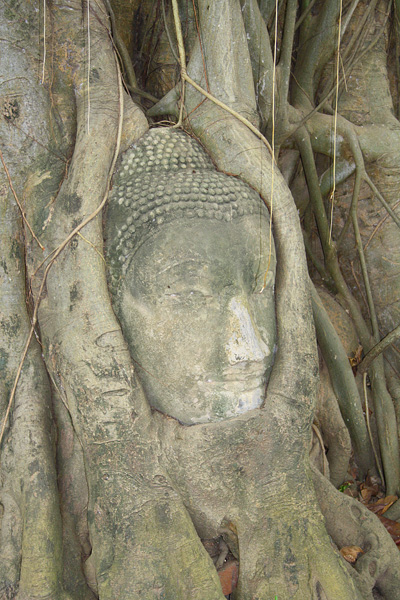 Buddha head in a tree at the Ruins of Wat Mahathat in Ayutthaya, Thailand