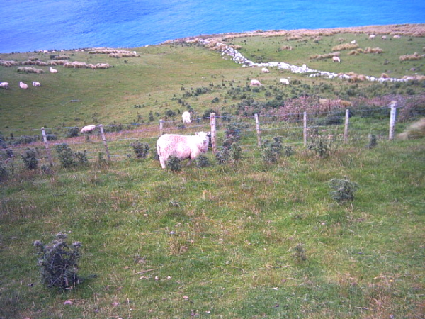 Sheep on the Otago Peninsula, Dunedin, New Zealand