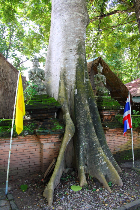A tree strangles a wall at Wat Chedi Luang in Chiang Saen, Thailand