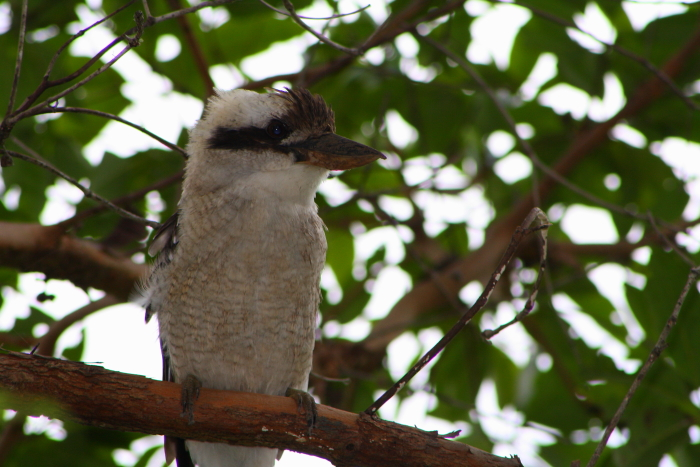 A Kookaburra at Lake Baroon in Maleny, Queensland