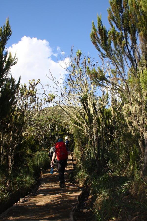 Walking through the moorland at Machame Hut on Mount Kilimanjaro, Tanzania
