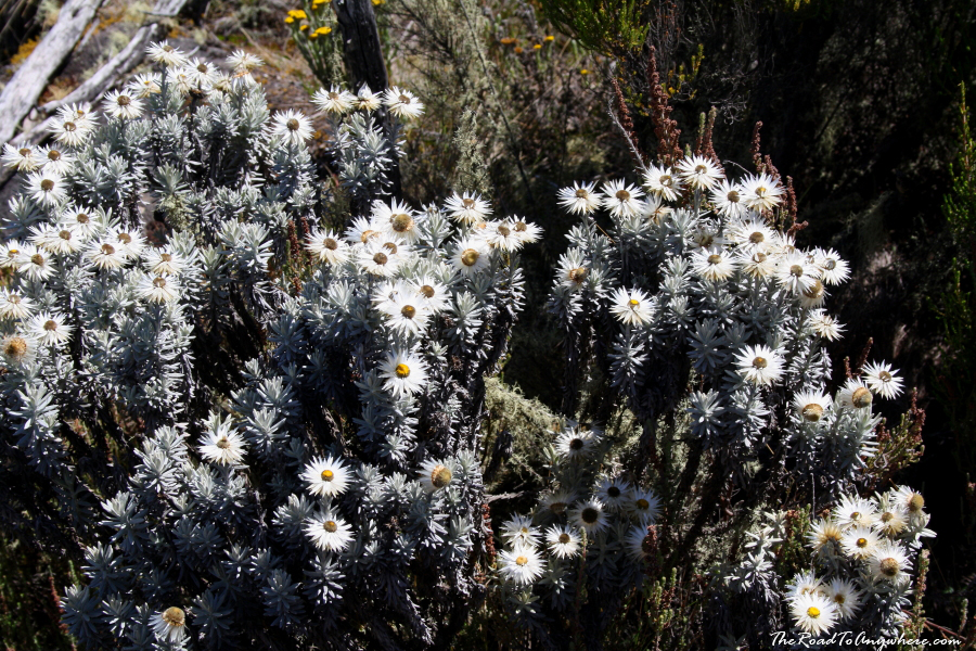 Wild flowers on Mount Kilimanjaro, Tanzania