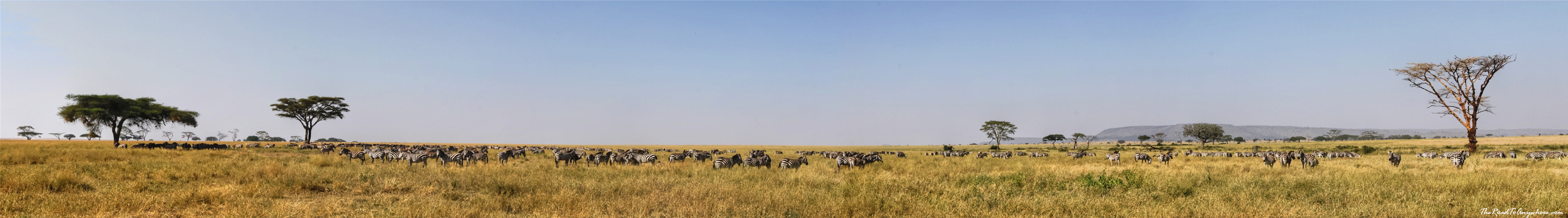 Panorama of a zebra herd in Serengeti National Park, Tanzania