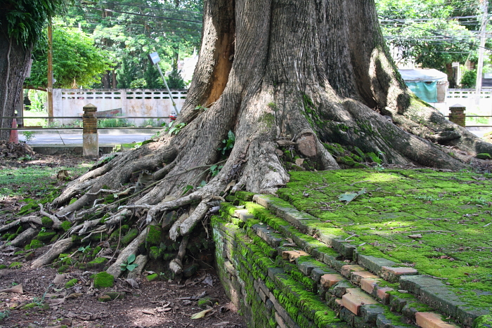 A tree growing over ruins in Chiang Saen, Thailand