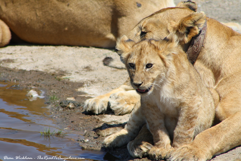 Lion cub and it's patient mother in Serengeti National Park, Tanzania