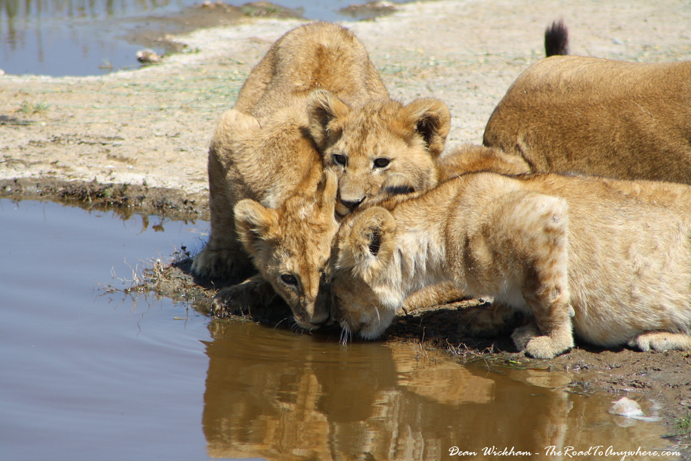 Lion Drinking Water Looking up Lion Cubs Drinking Water in