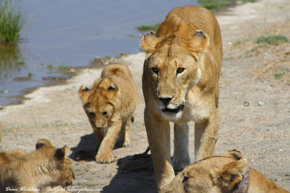 Lioness joining the rest of the pride in Serengeti National Park, Tanzania