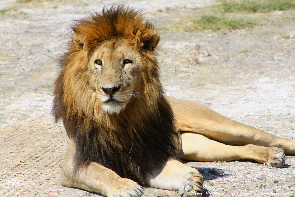 A male lion lazing in the sun in Serengeti National Park, Tanzania