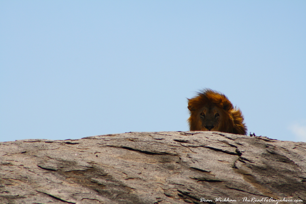 A male lion on top of a granite outcrop in Serengeti National Park, Tanzania