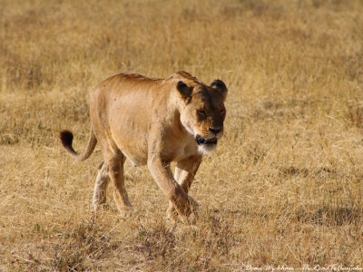 A lioness in Ngorongoro Crater, Tanzania