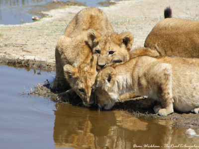 Three lion cubs drinking water in Serengeti National Park, Tanzania