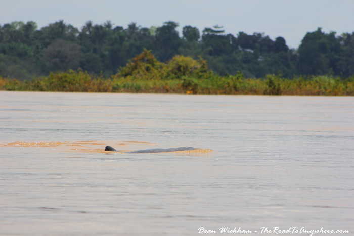 Irrawaddy Dolphins in the Mekong River in Cambodia