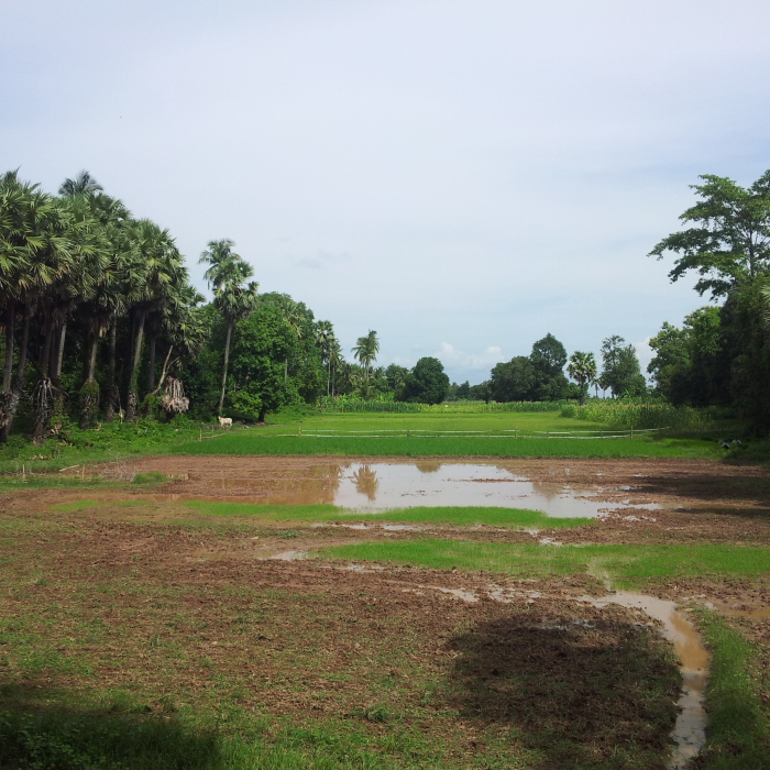 Rice field on Koh Trong, Cambodia
