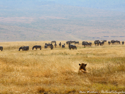 A lioness watching a herd of zebras in Ngorongoro Crater, Tanzania