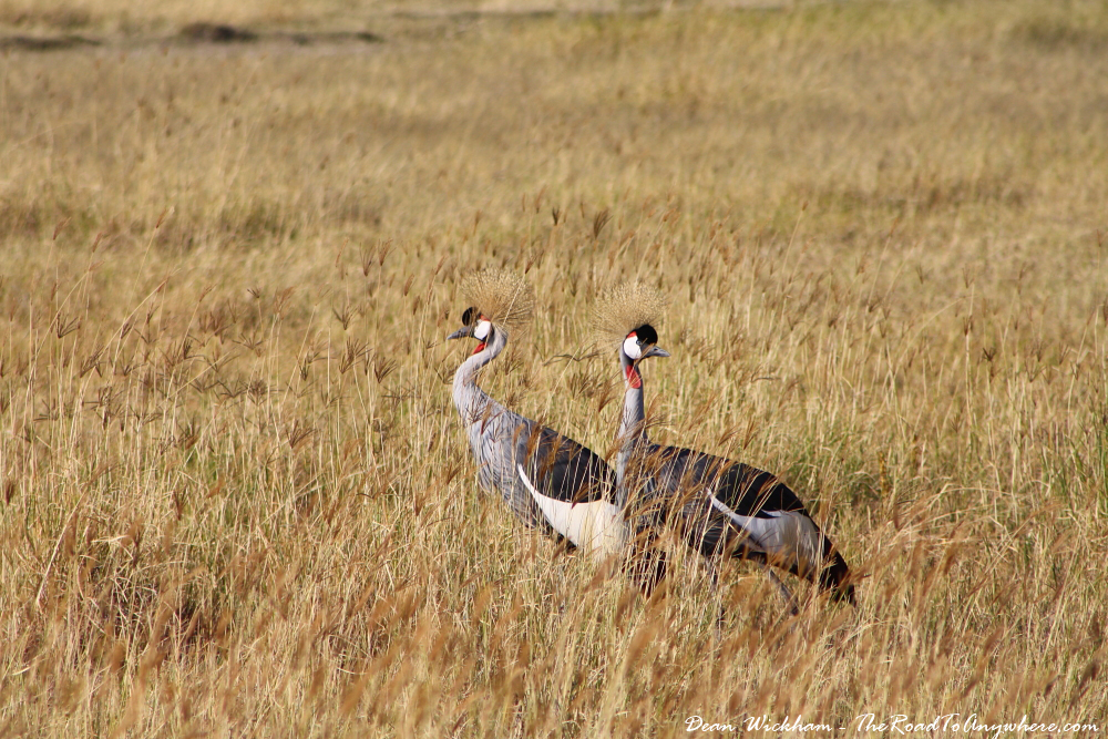 Crowned cranes in Ngorongoro Crater, Tanzania