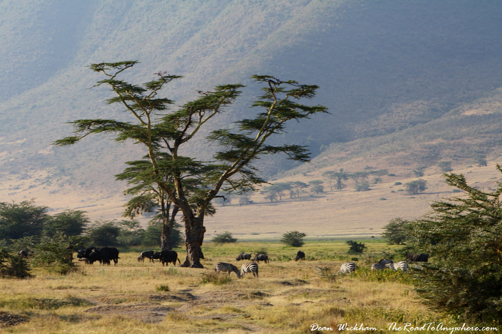Herds of zebra, wildebeest and buffalo in Ngorongoro Crater, Tanzania