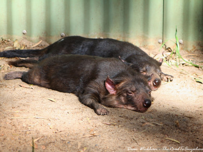 Tasmanian Devils taking a nap at Currumbin Wildlife Sanctuary on the Gold Coast, Australia